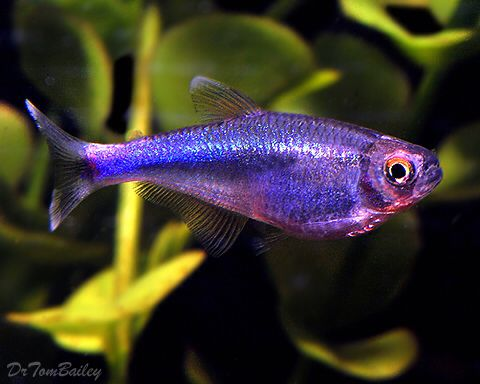Boehlkea fredcochui - Blue King Tetra, Amazon