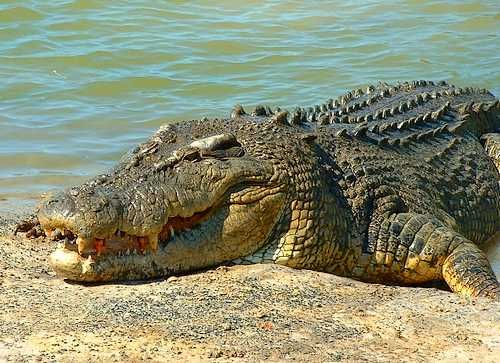 Number 6 on Australia's deadliest animals list -  The Salt-water Crocodile - Crocodiles are highly publicised for viciousness and aggression, along with looking scary, it is probably a surprise they are further down the list than you may have thought, this is because there are very few deaths per year - The longest croc ever measured and verified was 6.4m (21ft). It could have weighed more than 1000kg. In Australia, there are unverified reports of crocs up to 8m.