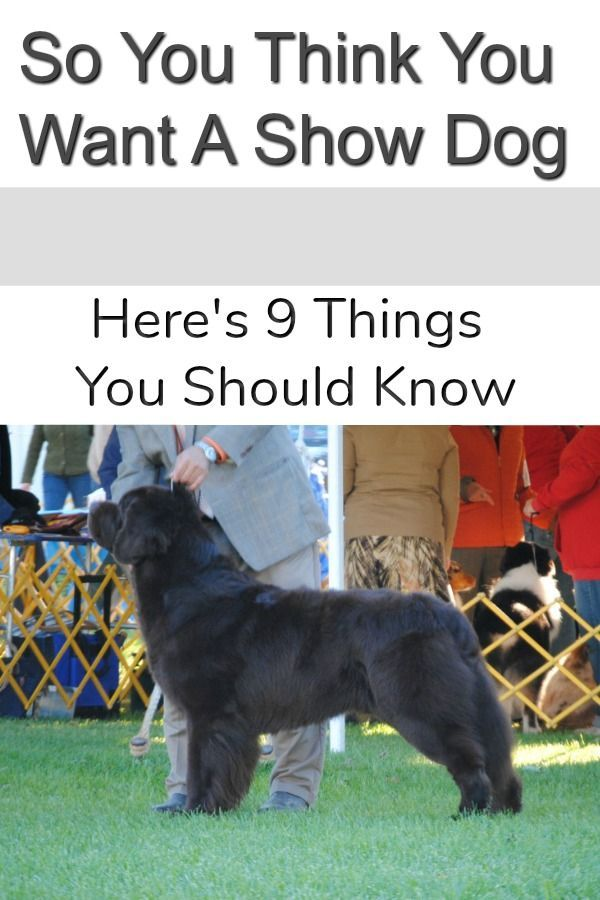 So You Think You Want A Show Dog Here S 9 Things You Should Know
