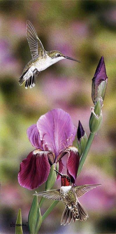 Beautiful bearded iris with humming birds.