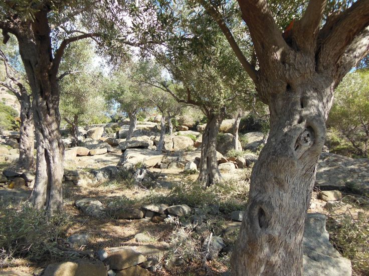 Olive trees and a stream of rock. Maronia.