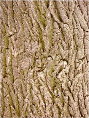 Bark of maple tree