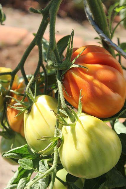 Liguria, a beef-heart Italian variety of tomato