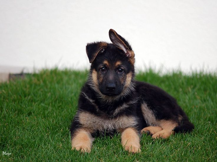 Here's a very handsome lookinggerman shepherd husky mix. What a great combination!... FULL ARTICLE @ http://www.ilovegermanshepherds.com/german-shepherd-husky-mix/