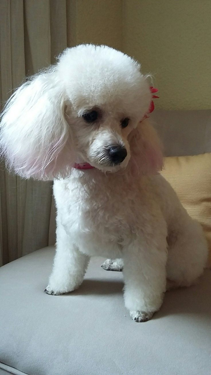 Best 25 poodle cuts ideas on pinterest for Action clips grooming salon