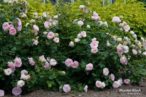 Редактирование фотографии: Роза канадская Моден Блаш (альбом: Розы 2016 г.)
