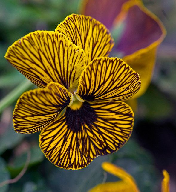 Yellow Striped Pansy ♥†♥ This has been my favorite pansy in my garden this year.