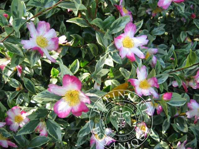 Camellia (botanique) sasanqua 'Variegata' - Vente en ligne - camélia - Pepiniere Botanique - Thoby - Gaujacq