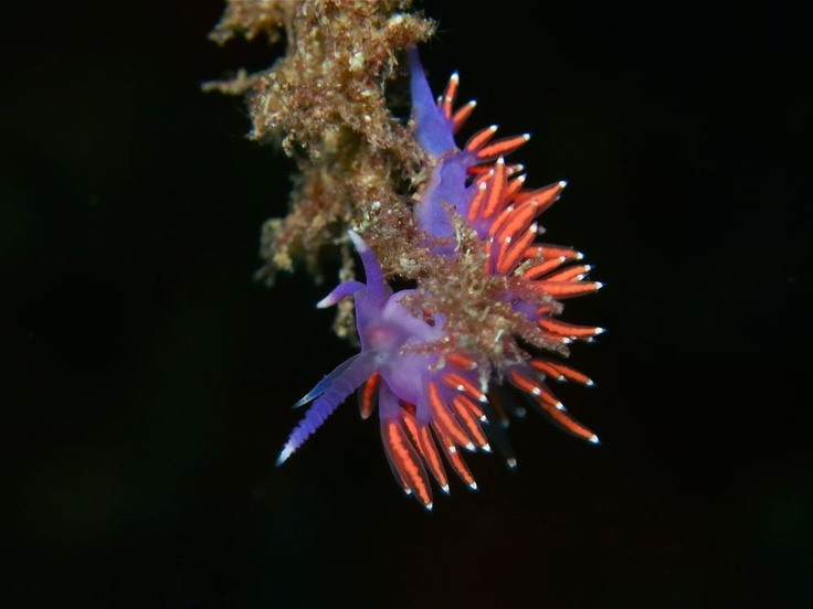 Flabellina (sea slug). Diving in Mallorca