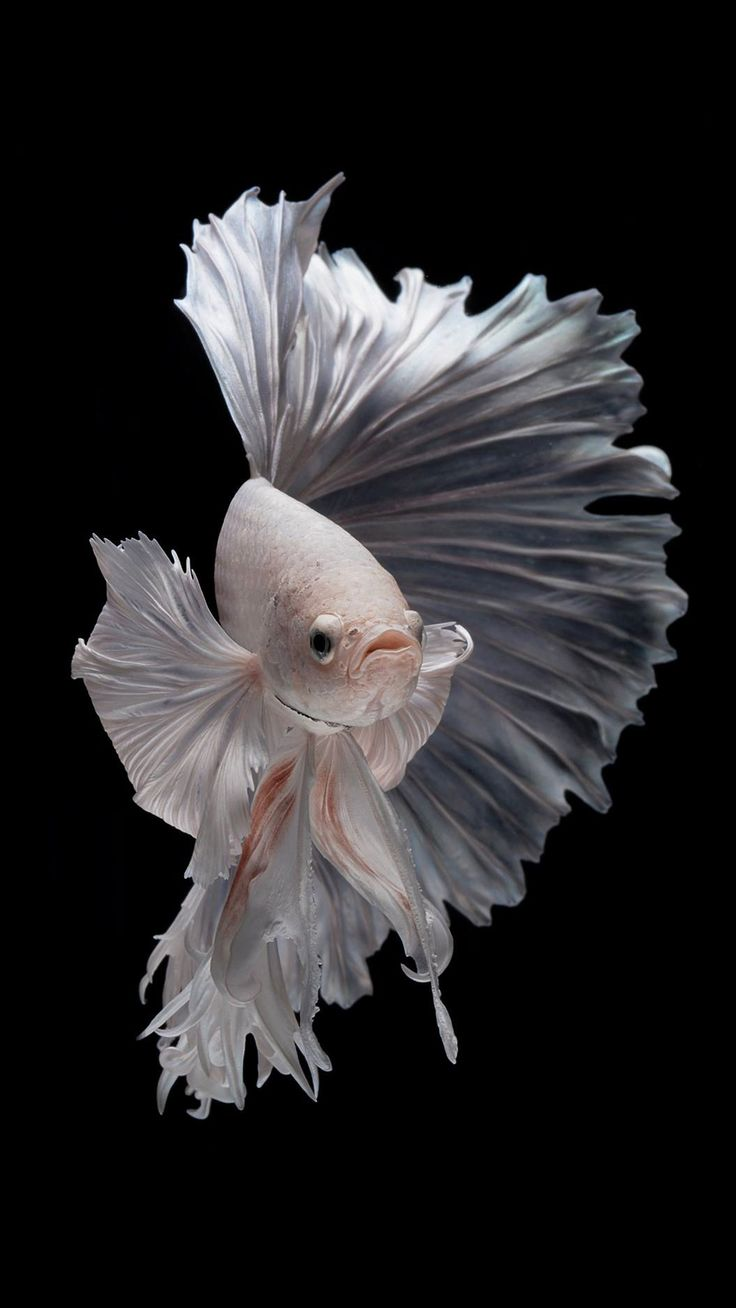 Free Wallpaper for iPhone 7 Plus with Albino Betta Fish ...