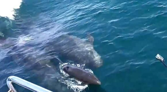 The birth of a false killer whale off the coast of California has been captured on film by a whale watching tour, who noticed the pod approach the vessel.