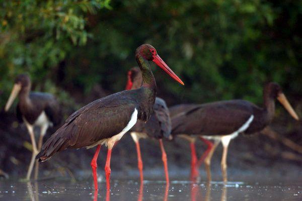 schwarzer Storch Storch, black stork