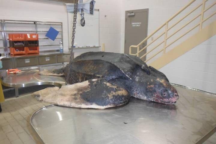 Endangered leatherback sea turtle found frozen in Cape Breton lake (Global News 15 February 2018)