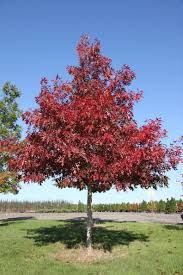 Image result for quercus coccinea