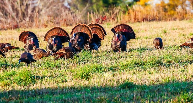 Fall Turkey Hunting: 3 Methods You May Not Have Thought Of