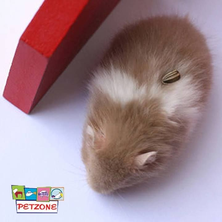 """#Petzone #HamsterTricks #PetTips  For """"turn"""" or """"roll over,"""" put the treat on his back side so he will turn around to get it.   Then do the same thing as """"stand"""". Say it and repeat it. Don't use treats until after the trick has been performed and now you have a trained hamster"""