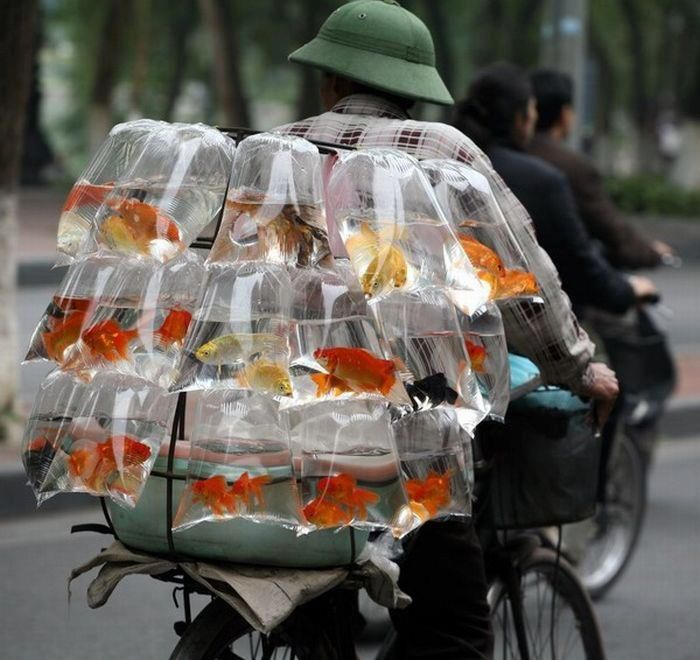 Goldfish carrier, Tokyo, Japan. ☆Well...it's the most familiar looking & logical way of transporting the little fishies. Can't imagine otherwise... こんな風に記事になっているのは、この輸送方法が海外で驚かれているから。何が? (^^;;