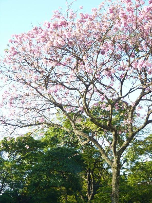 Campo Grande - Mato Grosso do Sul ,Brasil  ipê flowers