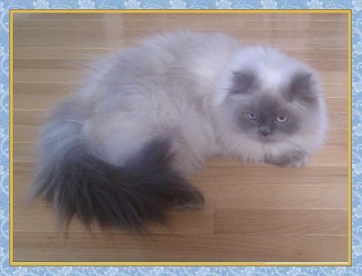 Persian cat blue tip