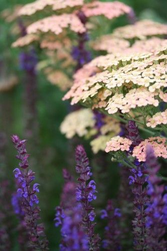Achillea 'Salmon Beauty' et Salvia nemorosa 'Ostftriesland'