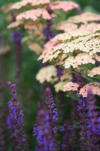 Achillea 'Salmon Beauty' et Salvia nemorosa 'Ostftriesland' _/////_