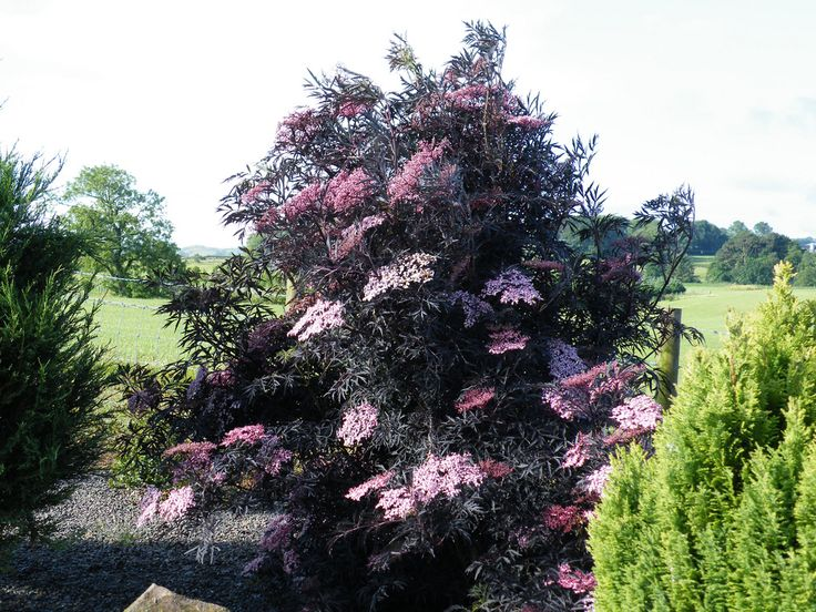 sambucus 'black lace' elegant and exotic, the black and pink are gorgeous.  Flowering shrub.