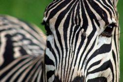 TWA-0026287 © WestPix Burchell's zebra in Hluhluwe-Imfoloze Park, South Africa.