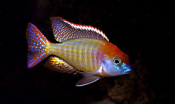 Rare african cichlids fish some rare african cichlids for African cichlid fish
