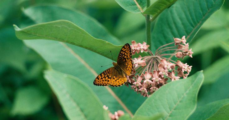 Descripción de las partes de las alas de la mariposa. La mariposa es un insecto volador versátil que vive en ambientes cálidos, fríos, secos y húmedos alrededor del mundo. La mariposa posee seis patas, antenas y un exoesqueleto. Su cuerpo se divide en tres partes: la cabeza, el tórax y el abdomen. Anexadas a su cuerpo se encuentran cuatro alas. Las alas trabajan juntas para que el insecto pueda volar.