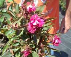 Reducing the spread of Rose rosette disease. It's made a huge impact here in Texas this last year. Be informed.