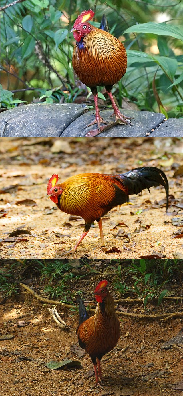 598 best wild and domestic fowl images on pinterest beautiful