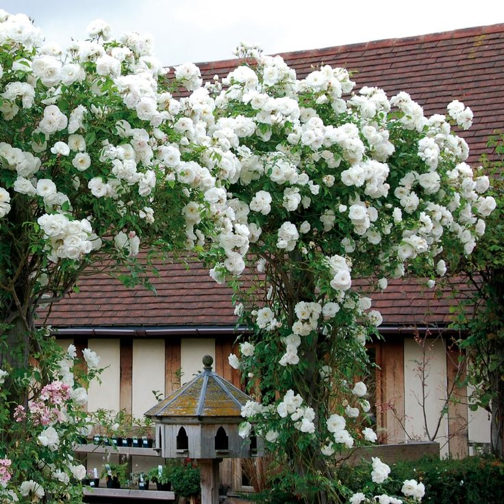 Iceberg climbing rose nz for other side of entrance framework; hardy as, prolific flowering in spring followed by continuous flowering through summer if deadheaded regularly, strong vigorous growing frame - semi evergreen in winter with big orange-red hips