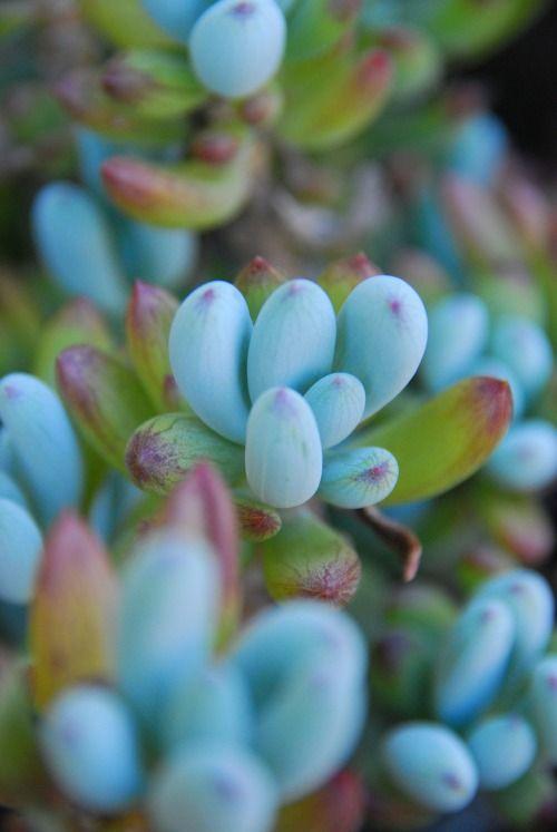 cool blue succulents. © desixlb 2014