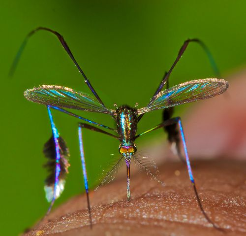 Now This is Buzzworthy: Rare Species of Mosquito is World's Most Beautiful - The Featured Creature