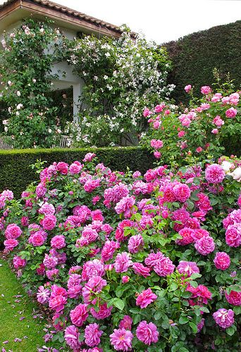 'Princess Anne' shrub rose  An unusual English rose - not one of the fragrant ones, but the masses of bold pink rosettes make ample compensation. Planted here in a group for maximum effect. ~ Susan R~