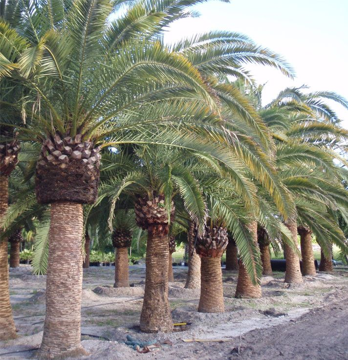 91 best images about buy cold hardy palm trees on for Purchase trees