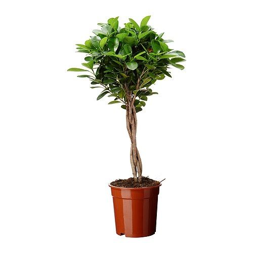 FICUS MICROCARPA MOCLAME Potted plant