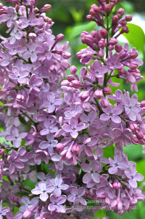 lovely lilacs, my favorite scent of spring.  I will never own a home without at least one bush in my yard ever again.