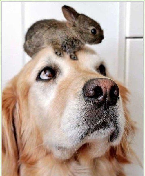 What's on my head?: Rabbit, Animals, Dogs, Sweet, Pet, Baby, Bunnies, Friend, Golden Retriever