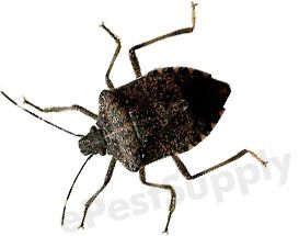 18 best need stink bugs gone images on pinterest - How to get rid of stink bugs in garden ...
