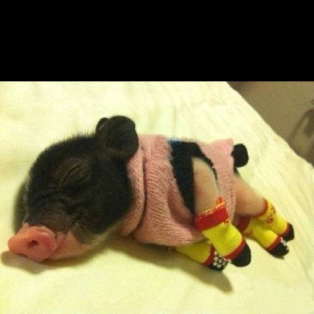 Baby Pig In A Sweater And Socks Is The World S Cutest Knitwear Model Cute Animals Cute Baby