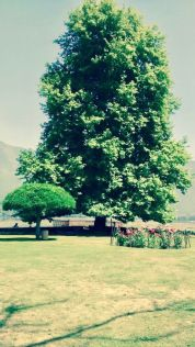 Char Chinar, also sometimes rendered Char Chinari, Ropa Lank, or Rupa Lank, is an island in Dal Lake, Srinagar, Kashmir India. Dal Lake includes 3 islands, 2 of which are marked with beautiful Chinar trees.