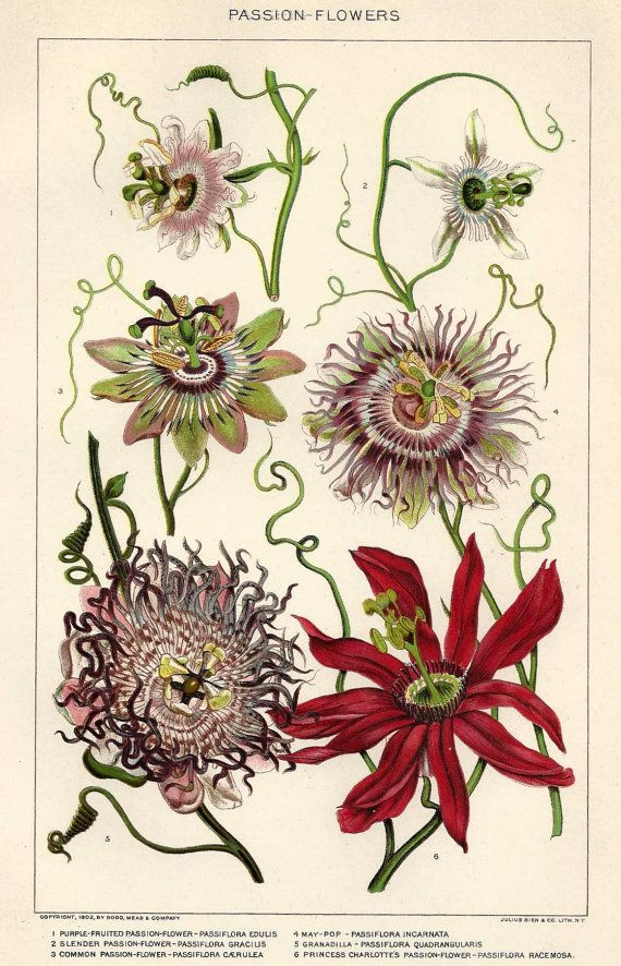 1900s Botanical Print Passion Flowers Antique illustration Lithograph Bookplate - Great to Frame