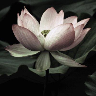 Lotus: Fine Art Prints, Au Natural, 500 000 Poster, Lotus Rooms, Natural Beautiful, Art Com, Andy Neuwirth, Beautiful Life, Lotus Prints