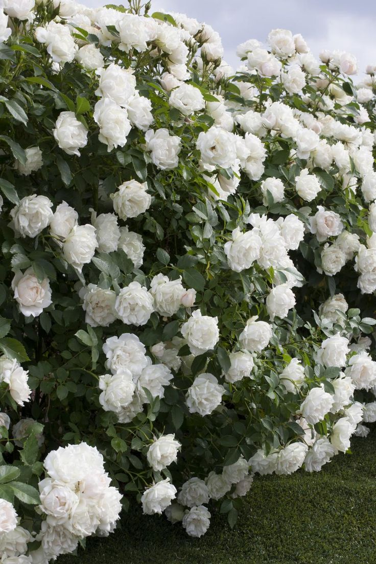 A bushy landscape shrub, 'Icecap' has pure white roses backed by dark green foliage. Grow it as a hedge or in combination plantings.