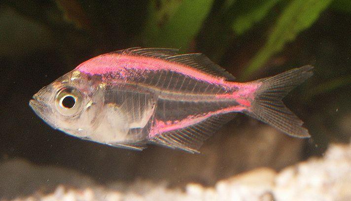 Painted Indian Glassy Fish Freshwater Aquarium Fish Pink Fish Fish