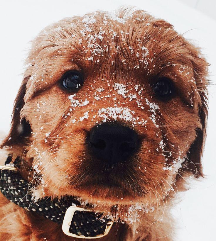 Snowy Golden Retriever Puppy