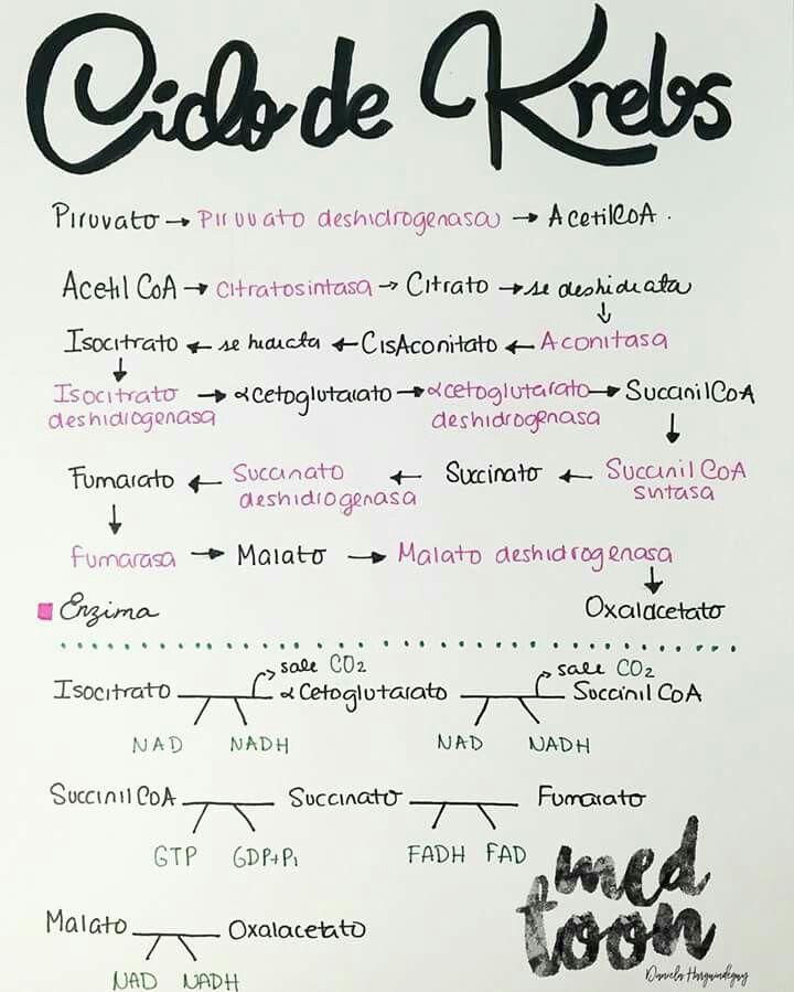 Resumo de Biologia : Ciclo de Krebs