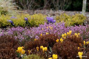 Wrzośce, krokusy i wrzosy - udany mariaż na wiosennej rabacie - Ogrodowisko