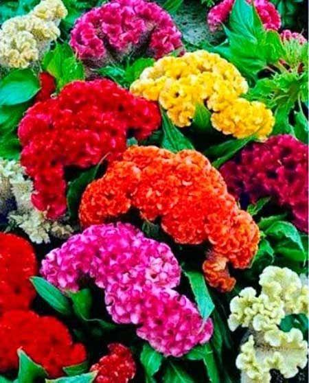 Cultivo da Flor Crista de Galo: Fotos, Como Cuidar e Croche